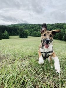 My four-month-old puppy, Tanooki, enjoying our post-lunch routine of frolicking through Merritt's Pasture.