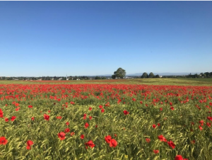 A field of poppies overlooking Basel.