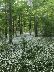 A forest floor covered in bärlauch, wild garlic that leaves a pungent scent in the air in the summer.