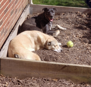 River (smiling) and Duce (sleeping) on the garden bed… their new favorite spot.